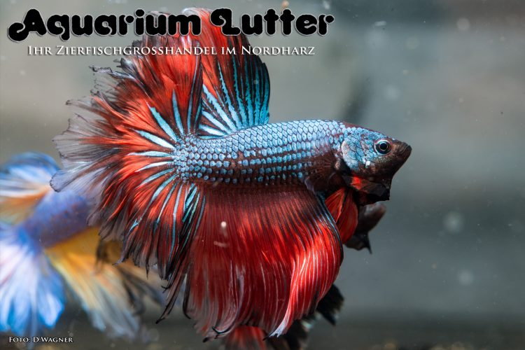 kampffisch-rosetail-betta-splendens-p