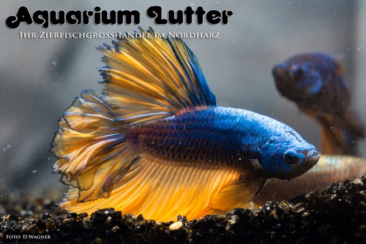kampffisch-rosetail-betta-splendens-o