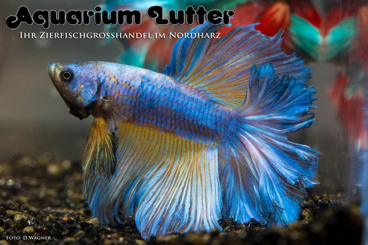 kampffisch-rosetail-betta-splendens-f