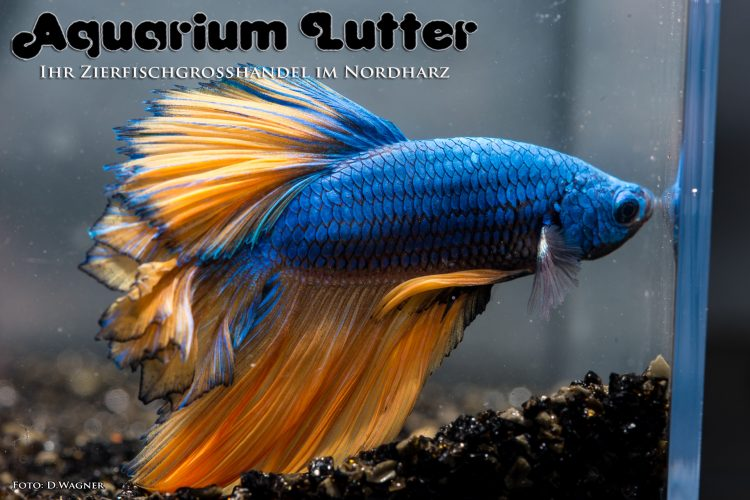 kampffisch-rosetail-betta-splendens-d