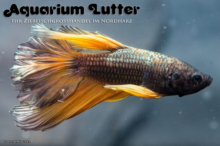 kampffisch-rosetail-betta-splendens-c