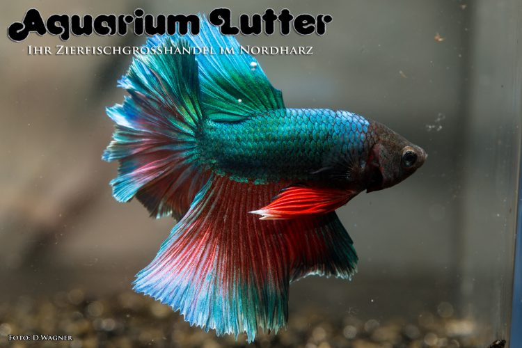 kampffisch-rosetail-betta-splendens-b
