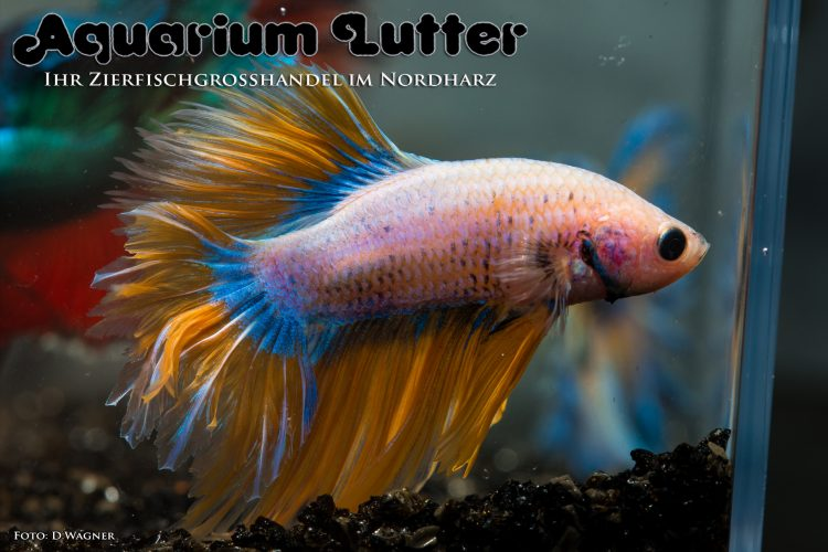 kampffisch-rosetail-betta-splendens-a