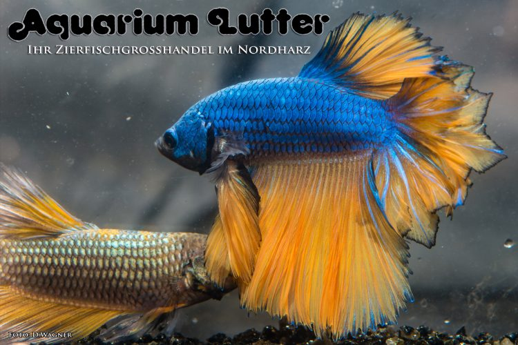 kampffisch-rosetail-betta-splendens-q