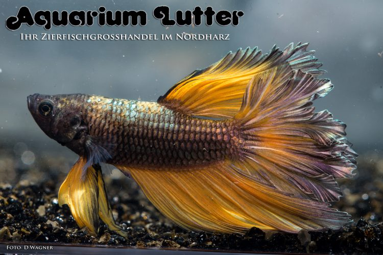 kampffisch-rosetail-betta-splendens-n