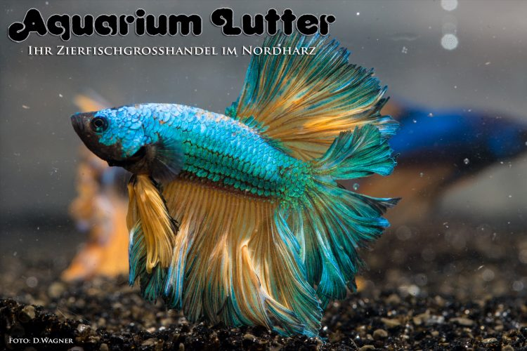 kampffisch-rosetail-betta-splendens-m