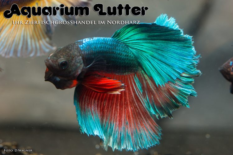 kampffisch-rosetail-betta-splendens-l