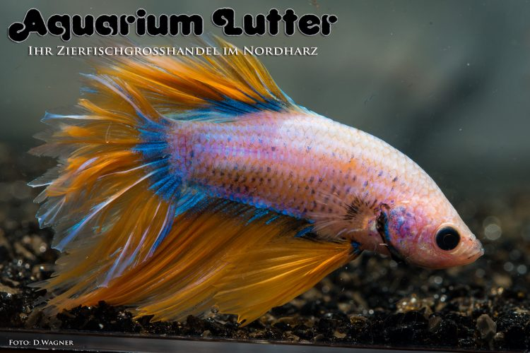 kampffisch-rosetail-betta-splendens-k