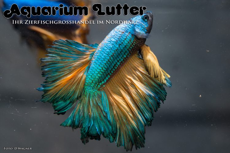 kampffisch-rosetail-betta-splendens-i