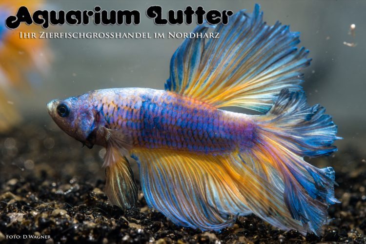 kampffisch-rosetail-betta-splendens-h