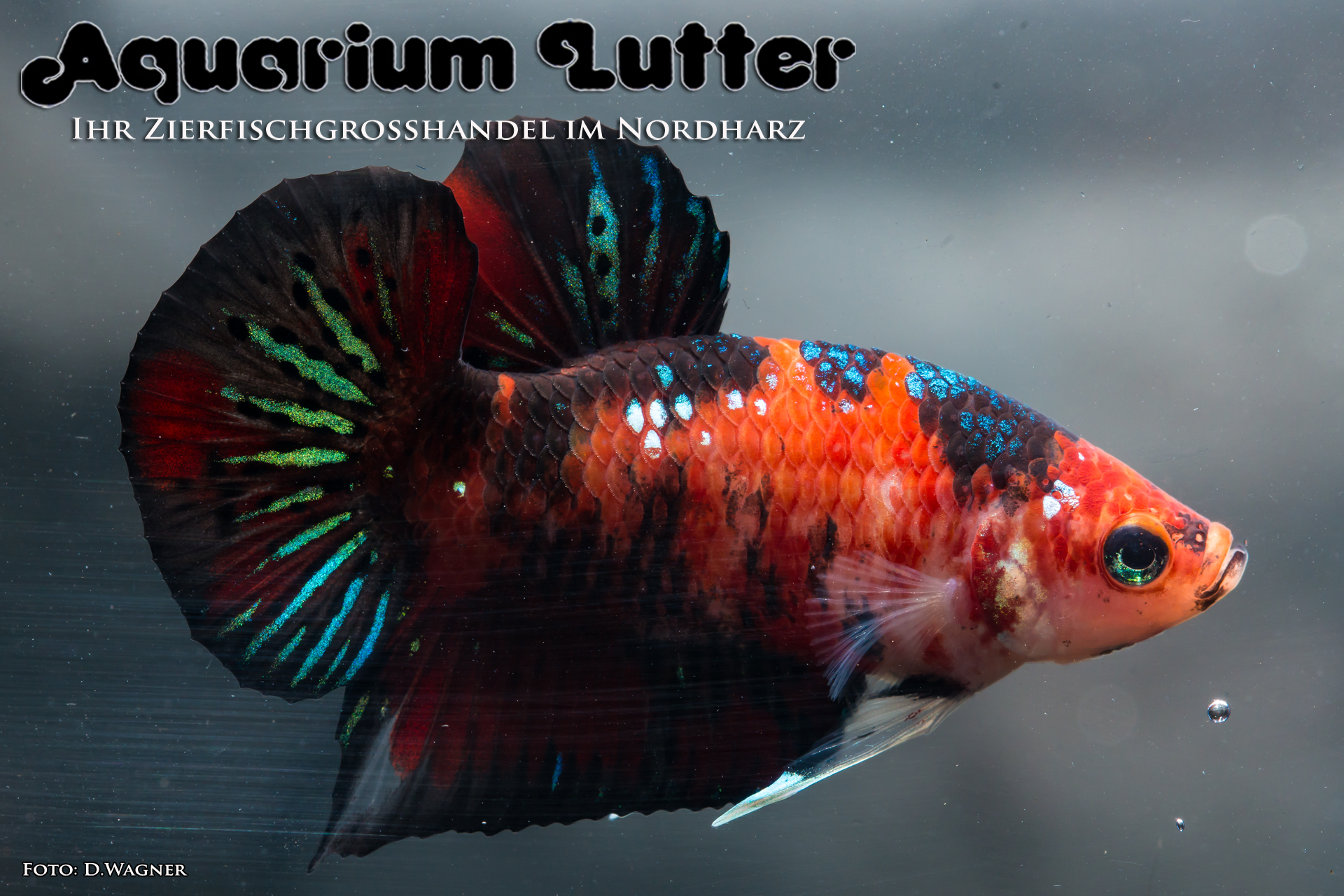 koi-kampffisch-betta-splendens