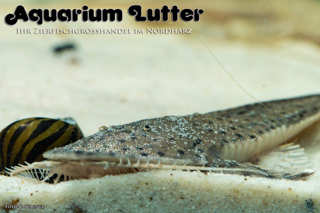 Rundkopf-Flunderharnischwels-Planiloricaria-cryptodon