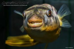 Nilkugelfisch – Tetraodon fahaka lineatus