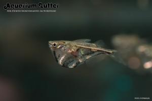 Marmorbeilbauchfisch – Carnegiella strigata strigata